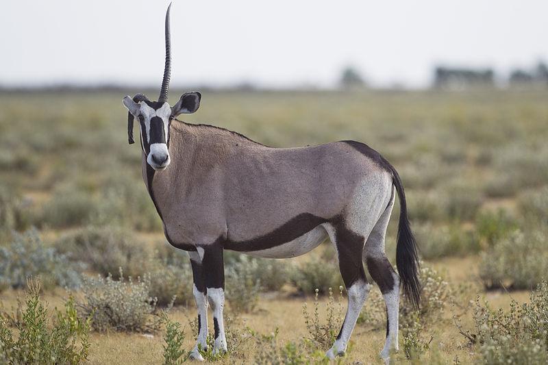 800px-Oryx_gazella_(unicorn)
